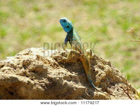 Blau geleitet Baum Agama Acanthocercus Atricollis