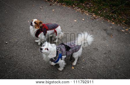 Pekingese dogs in park