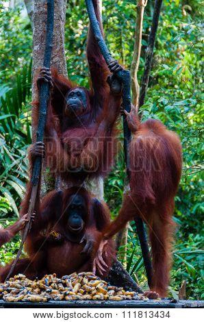 Three Orang Utan hanging on a tree in the jungle, Indonesia