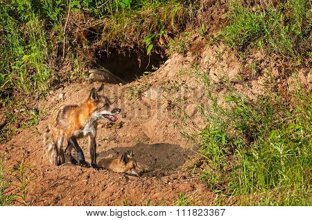 Red Fox Vixen (vulpes Vulpes) And Kit Near Den
