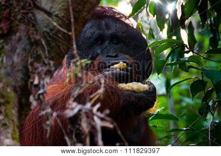 Alpha male orang utan eating banana behind a tree in Borneo