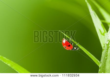 Ladybug running along on blade of  green grass
