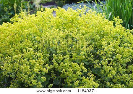 Ornamental garden plants cuff (Alchemílla)