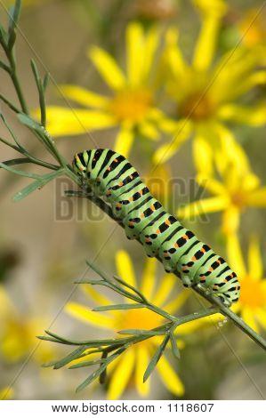 Caterpillar Of Papilio Machaon Linnaeus