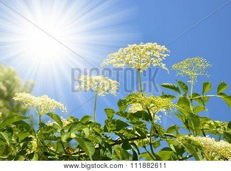 Blooming elderflower