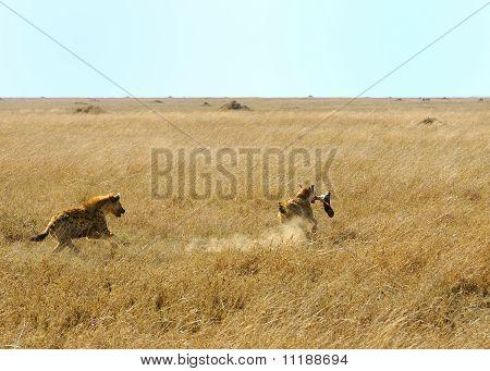 Ein gefleckter Hyaena läuft mit einem Buffalo-Bein