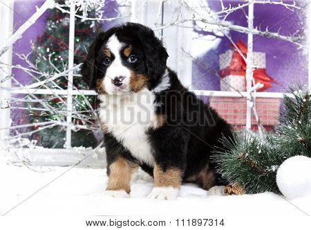christmas  puppy  bernese sennenhund