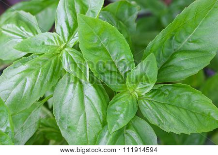 Closeup photo of home grown Italian Basil, known as Sweet Basil, in the garden