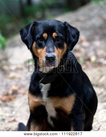 Dog With Sad Eyes In Forest