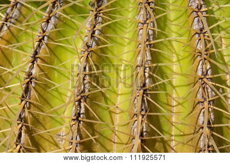Cactus Plant Closeup, Mother In Law`s Cushion