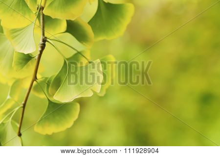 Leaves of Ginkgo Biloba