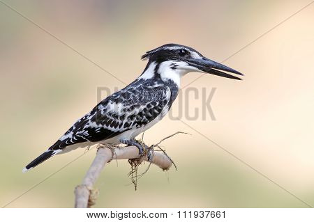 Pied Kingfisher Ceryle Rudis Male