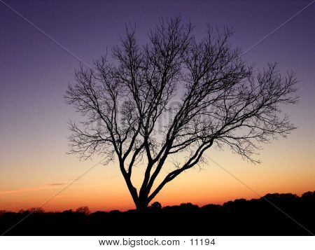 Sunset Branches