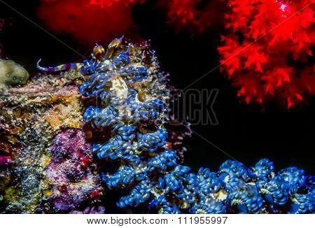 Blue Dragon Pteraeolidia Ianthina Nudibranch