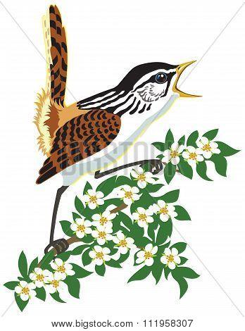 marsh wren songbird