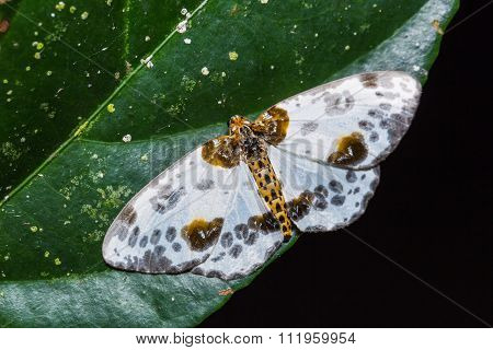 Abraxas Lugubris Moth On Green Leaf