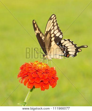Giant Swallowtail butterfly, Papilio cresphontes on an orange Zinnia