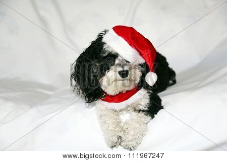 A beautiful Havanese Dog wears his Christmas Collar and Christmas Hat while posing for his Holiday Portrait while sitting on a white cloth background with shadows and wrinkles in the cloth.