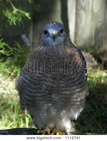 Blue Headed Hawk