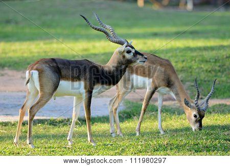 Male Blackbuck (antilope Cervicapra)