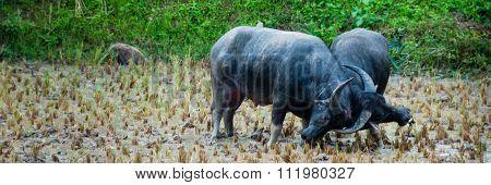 Two Carabao Buffalos Fighting in the Mud on a field of Tana Toraja