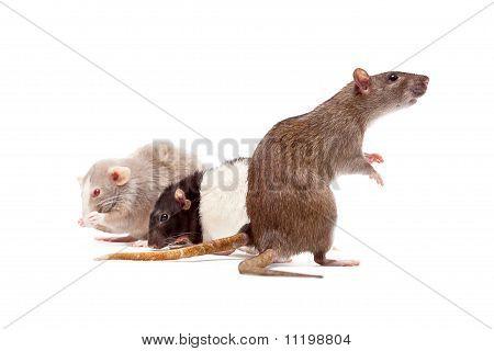 Rat's Family