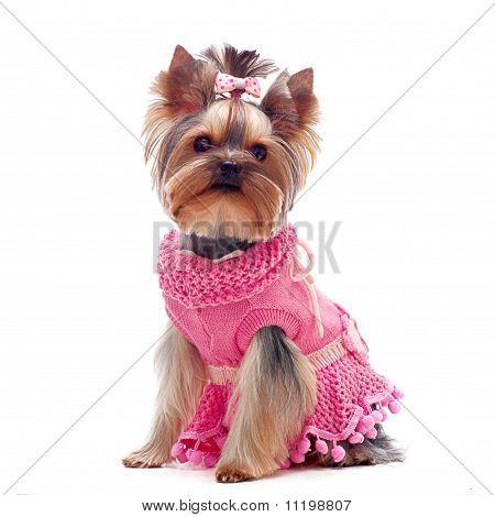 Cute Yorkshire Terrier In Pink Dress