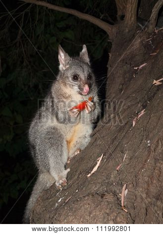 Bush tailed possum eating fruit in a tree