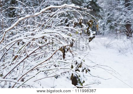 Winter Snow Covered Trees In The Deep Forest