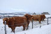Highland cattle brave the elements at ruthven barracks poster