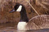 Canada goose swimming. Edwyn B. Forsythe National Wildlife Refuge, New Jersey, USA. poster