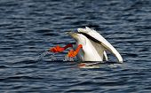 An American white pelican dips bottoms up into blue lake poster