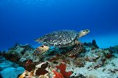 Hawksbill Turtle (Eretmochelys imbricata) swimming over coral reef in the clear blue water of Cozumel Mexico poster