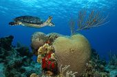 Hawksbill Turtle (Eretmochelys imbricata) swimming over brain coral reef in the clear blue water of Cozumel Mexico poster