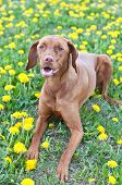A Hungarian Vizsla dog lies down on some grass that is covered with yellow dandelions. poster