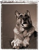 German Shepherd On Bed, Resting Dog, Relaxing pet poster