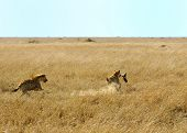 A spotted hyaena is running with a buffalo leg in her mouth poster