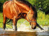 bay splashing  horse outdoor gulf summer sunny evening poster