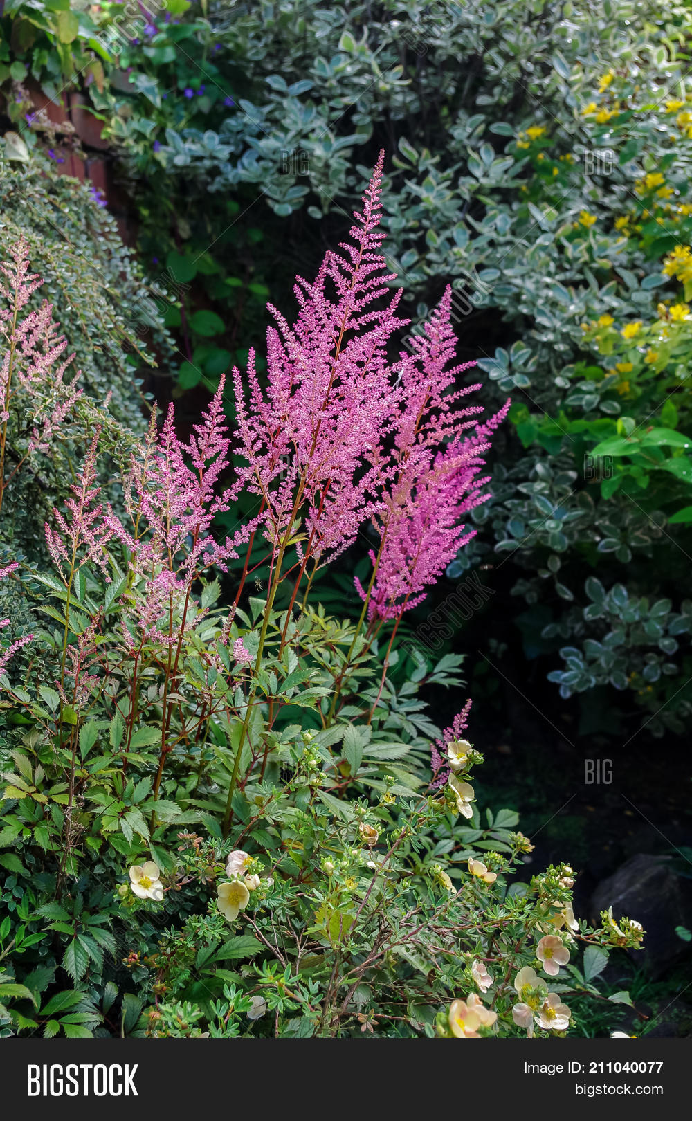 Pink Astilbe Flowers Image Photo Free Trial Bigstock