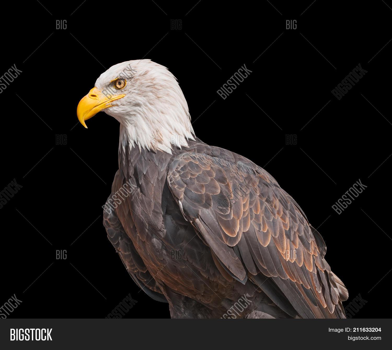 American Bald Eagle Image Photo Free Trial Bigstock