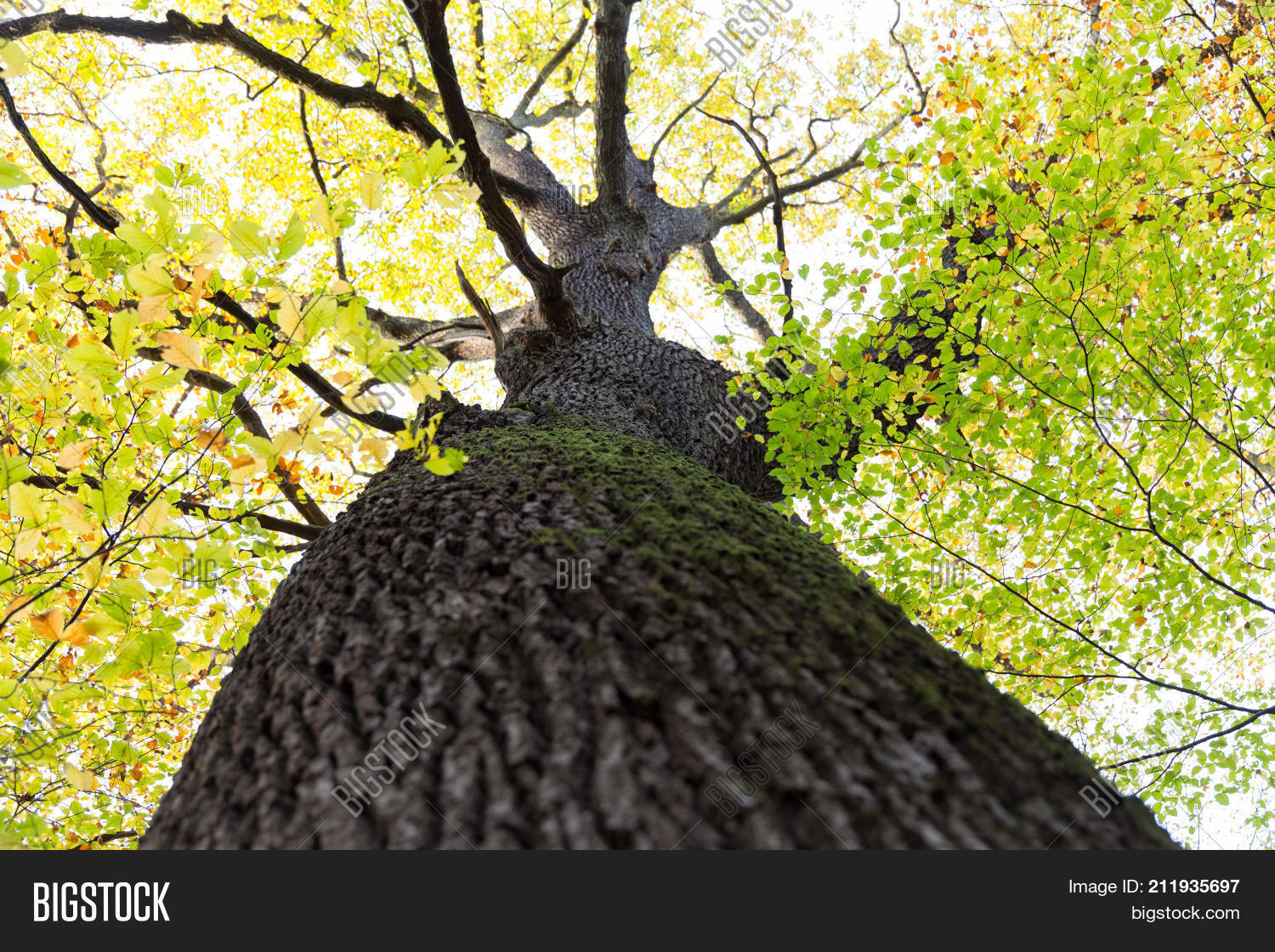 Tall Beech Tree Dark Image & Photo (Free Trial) | Bigstock