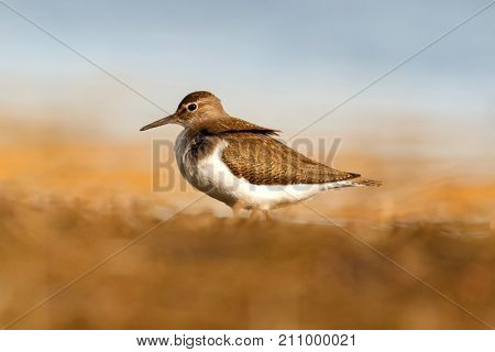 Beautiful wader bird on the ground an water of background. Common sandpiper