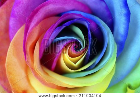 Macro of rainbow rose heart flower and multi colored petals