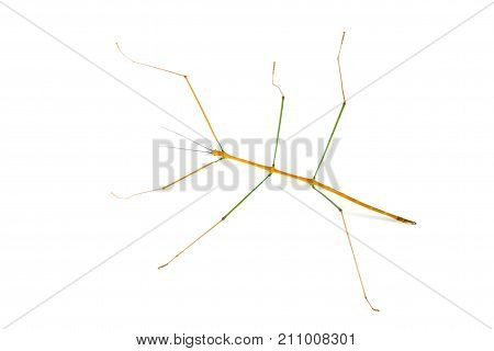 Stick Insect (walking sticks / stick bugs) from Thailand/southeast Asia on white background