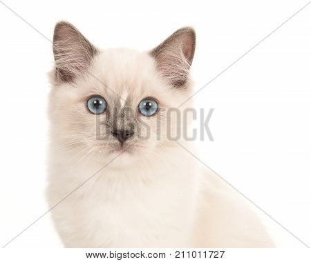 Portrait of a rag doll baby cat with blue eyes looking at camera on a white background