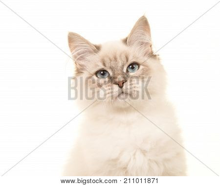 Portrait of a birman kitten cat with blue eyes on a white background