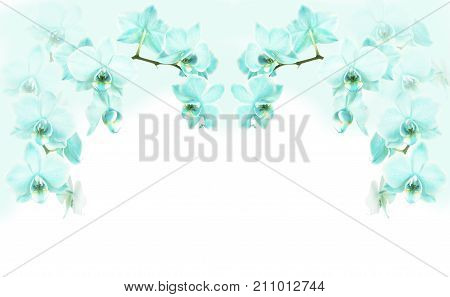 Turquoise blue orichids on the upper corners on a white background with a turquoise color on the corner