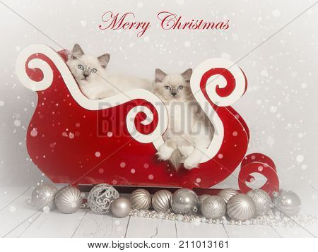 Christmas card stating merry christmas with two rag doll kitten cats in a red christmas sleigh with silver christmas ornaments