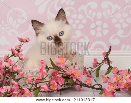 Cute rag doll baby cat with blue eyes facing the camera in a living room setting