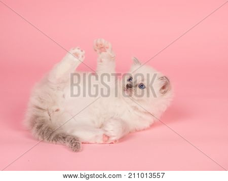 Cute rag doll baby cat playing on a pink background